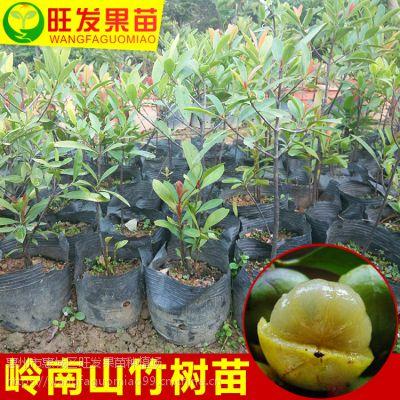 大量供应正宗岭南山竹苗(罗蒙树)黄牙树 树形美观可观赏树价优品种正宗优质