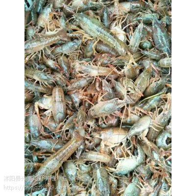小龙虾野生苗和人工培育苗的区别