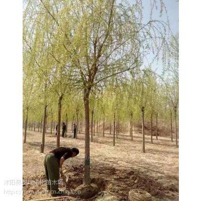 柳树哪里有卖的 价格哪里便宜 江苏柳树苗基地大量现货