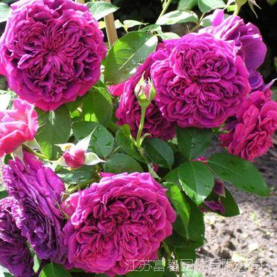 欧月 福斯塔夫月季花 攀援紫红色爬藤球状月季 多花藤庭院阳台可拱门