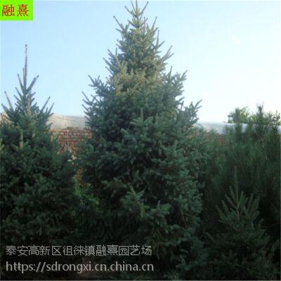 基地直销云杉 四季常青《2 2.5 3 3.5 4米高》真正的天然圣诞树 红皮云杉价格