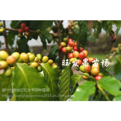 大量供应咖啡苗 进口咖啡树苗当年种当年结果抗寒品种可盆栽地栽树苗 品种正常量大价优
