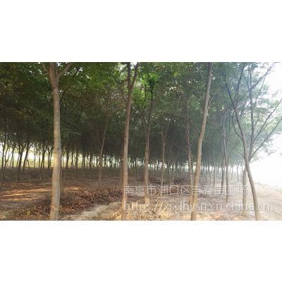 南京榉树价格12公分15公分16公分榉树多少钱一棵