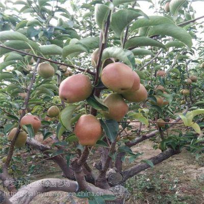 嫁接梨树苗 新梨七号梨树苗供应 红香酥梨树苗价格 适合南北种植