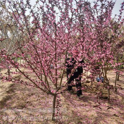 龙柱碧桃供应基地 城市道路绿化 地径3公分以上规格 5公分菊花碧桃价格
