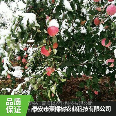 壹棵树 哪里有买苹果树苗的 苹果树种苗批发 成活率高