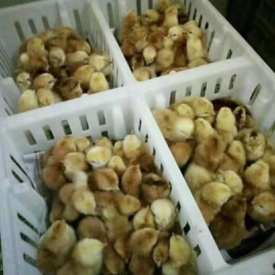 鸡苗隔板筐 带间隔鸡苗箱 塑料雏鸡筐厂家
