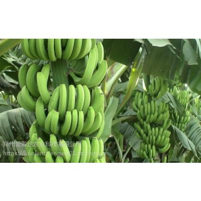 香蕉叶面肥光动力香蕉专用叶面肥增甜防裂 拉长增粗