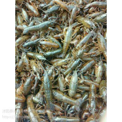 2018年秋季小龙虾苗价格秋季小龙虾苗多少钱一斤秋季哪里有龙虾苗卖