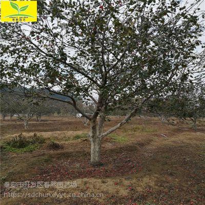 出售大山楂树 10公分 12公分规格 庭院观赏植物 规格齐全