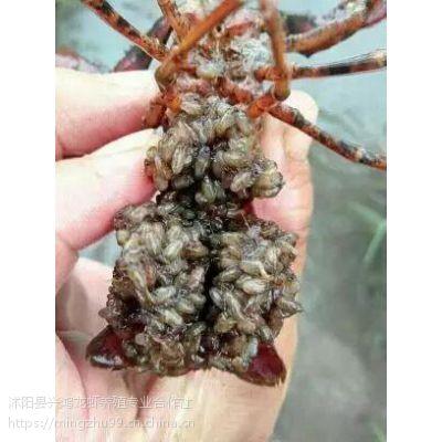 信阳小龙虾苗价格信阳哪里有龙虾苗卖信阳龙虾苗养殖基地