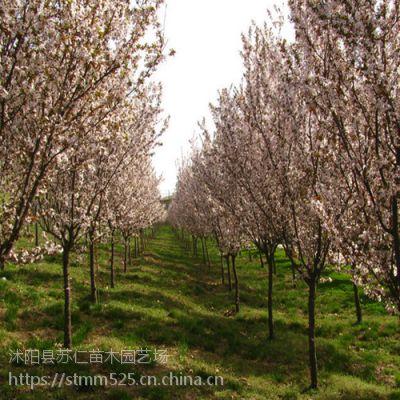 绿化行道树品种5公分紫叶李价格参考