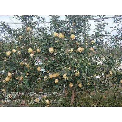优质黄金维纳斯苹果树成苗