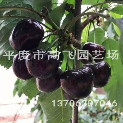 黑珍珠樱桃苗 车厘子苗 南方种植樱桃苗品种