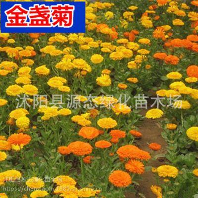 批发优质草本花卉种子 金盏菊种子 观赏植物 园艺花卉 易种植