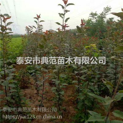 3公分梨树苗基地 一亩地种多少棵梨树