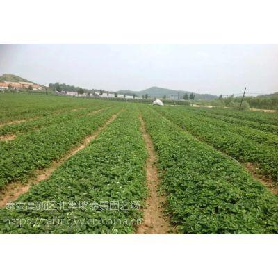 供应优质纯正草莓苗草莓苗基地