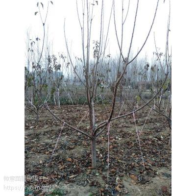 ***新樱桃树基地 , 樱桃树图片 ,樱桃树报价