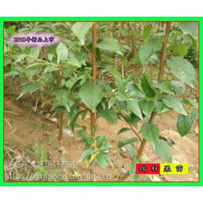 2公分杏李李子苗 新品种产量介绍