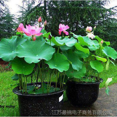 夏季直销 荷花种苗 水生花卉 荷花种藕 观赏花卉 荷花种块 植物