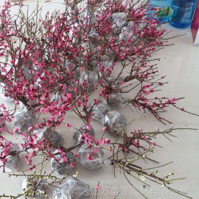 朱砂梅 盆栽地栽苗乌梅 耐寒花卉观花植物室内浓香型 梅花苗直销