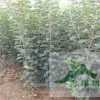 壹棵树 苹果树苗哪种好 苹果树苗培育基地 价格优惠