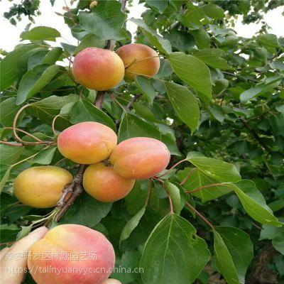 杏树苗价格 金太阳杏树苗价格 1公分杏树苗种植基地