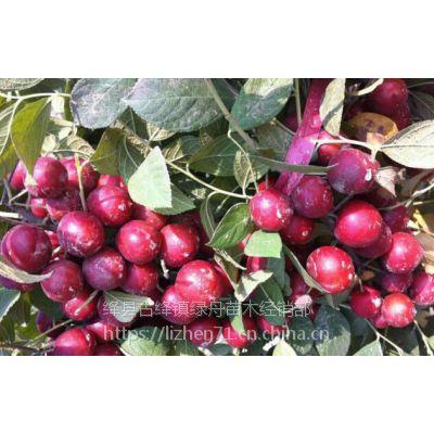 绿舟苗木基地出售山西农大钙果苗7号8号9号10号新品种中华钙果苗多少钱一棵