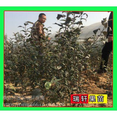 2公分新砧木鲁丽苹果苗 大量售苗