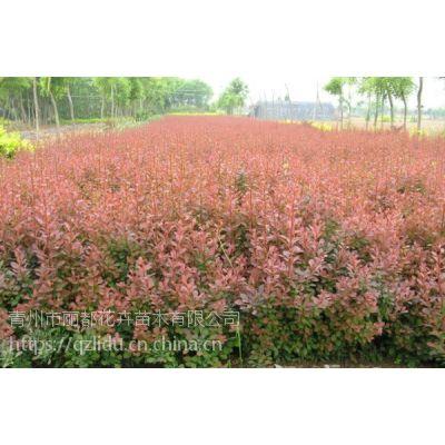 青州丽都 红叶小檗小苗 红叶小檗品种 销售
