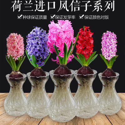 批发荷兰优质风信子种球 盆栽风信子多色可选大球 土种水培花卉