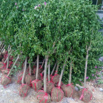 供应优质红花木槿小苗价格