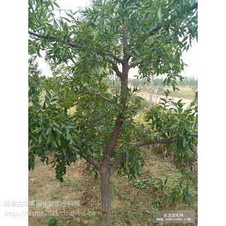 今天5公分枣树价格+6公分枣树产地直销