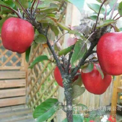 新品桃苗:金霞油蟠桃树苗、金霞油蟠桃树苗今年价格