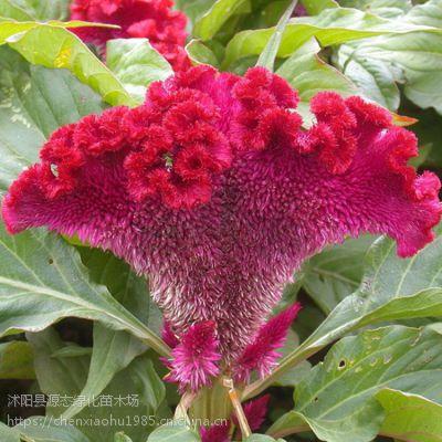 供凤尾鸡冠花种子 花卉种子 鸡冠花种子批发 保质保量 货到付款