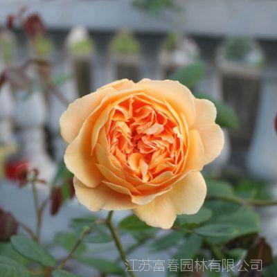 欧月浓香 四季开花 玛格丽特王妃 多花蔷薇苗藤本球状月季花苗玫瑰