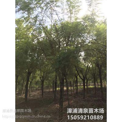 胸径22公分高度6米蓝花楹绿化树