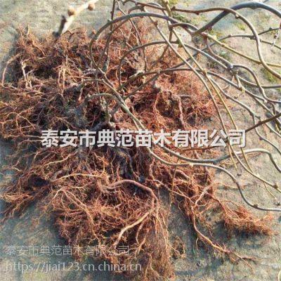 红阳猕猴桃苗价格 山东红阳猕猴桃苗基地