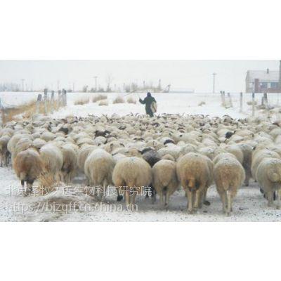 羊群抓膘好越冬