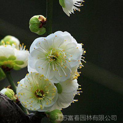批发庭院植物 绿梅花 移栽正当时 绿梅 盆栽 包成活 量大优惠