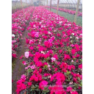 新年节庆用花 花卉种类多 西洋鹃红色批发