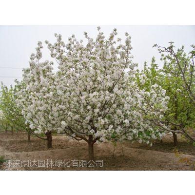 八棱海棠 八棱海棠树,2019年最新行情信息