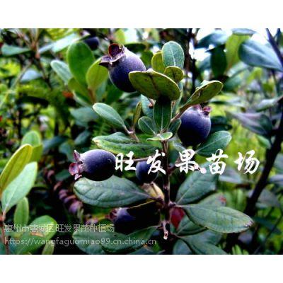 供应捻子树苗桃金娘捻子苗 南北种植桃金娘野生果树品种正宗优质