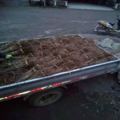 出售七叶树苗 陕西汉中七叶树基地 1年生 七叶树苗价格0.90元起量大质量好价格低