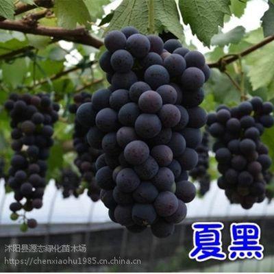 葡萄苗盆栽葡萄树苗当年结果葡萄果树苗盆栽地栽精品南方北方种植