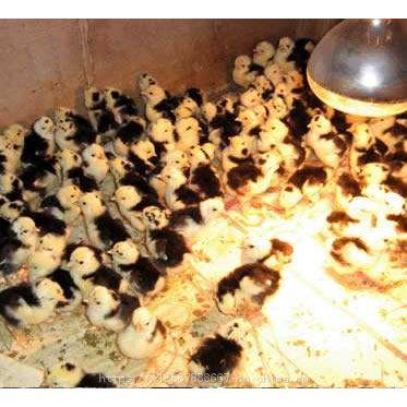 迪庆鸡苗价格多少钱一只 鸡苗脱温30天 凉山高脚土鸡苗(SD-53)