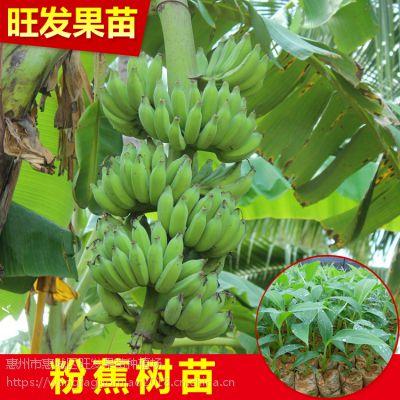 大量供应优良新品种果树苗金粉1号粉蕉苗皇帝蕉又称贡蕉 品种正宗 量大价优