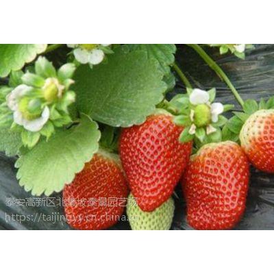 隋珠草莓苗章姬草莓红颜价格