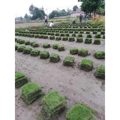 绵阳大量批发台湾二号,及各类草坪供应,产品丰富