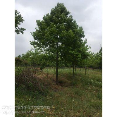 米径12公分娜塔栎哪里便宜 12公分娜塔栎价格树多少?